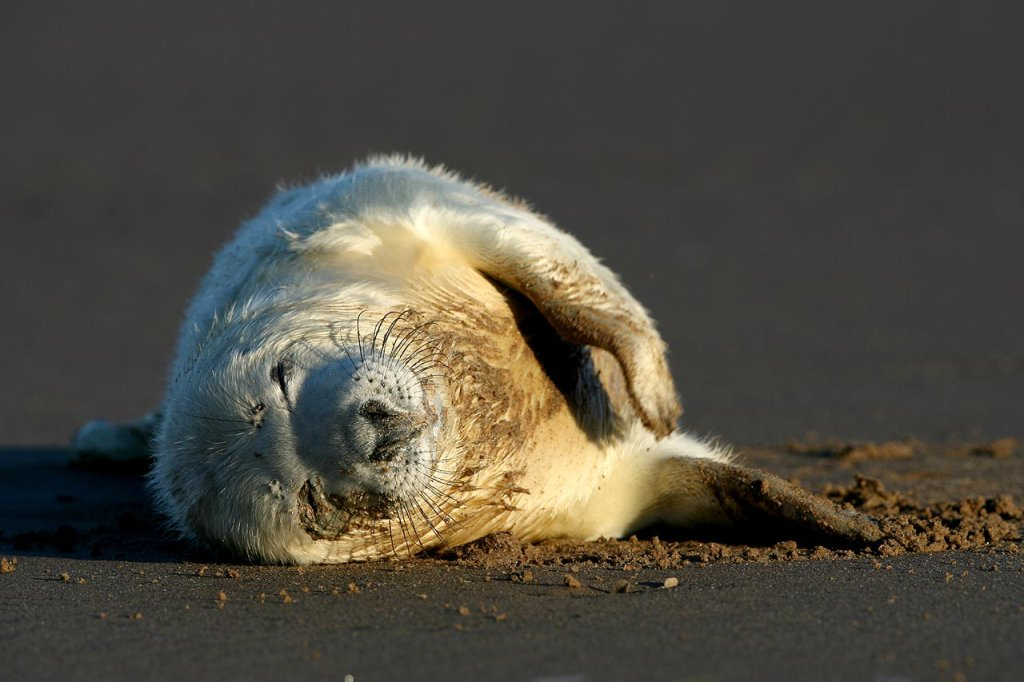 Grey seal puppy