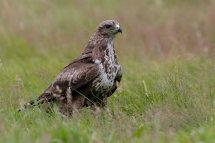 Commun buzzard
