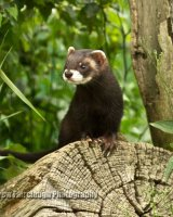 Polecat (Kit)