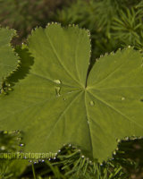 Early Morning Dew on Alchemilla Leaves