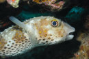 Yellowspotted Burrfish Portrait (Diodon)