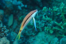 Goatfish and Cleaner Wrasse
