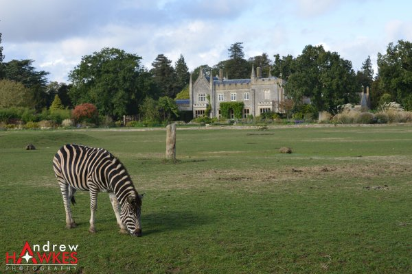 Zebra Crossing?