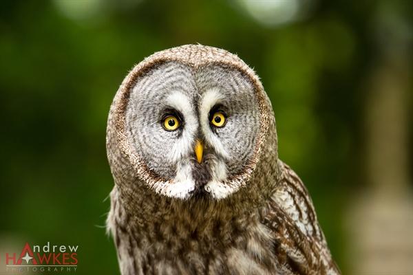 Grey Owl 1