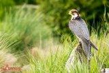Peregrine Falcon 4