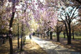 Osaka Blossom Paths