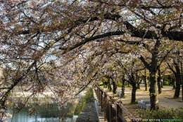 Osaka Blossoms