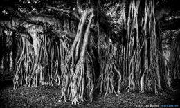 """The Banyan Tree"""