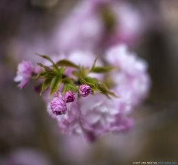 Yae-zakura blossoms