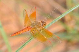 Ditch Jewel Dragonfly
