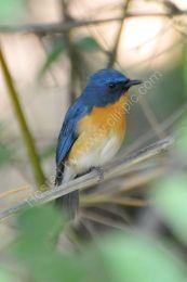 Tykell's Blue Flycatcher