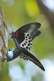 Blue Mormon Butterflies mating - 2