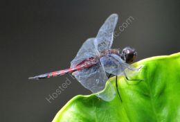 Black Marsh Trotter Dragonfly