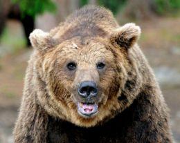 Bear Portrait 1