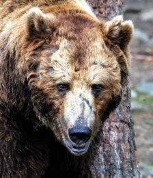 Bear Portrait 2 - 'Scarface'
