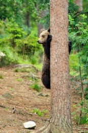Young bear up a tree