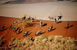 Oryx crossing a dune