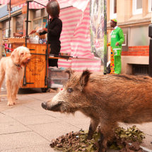 Boar-on-the-street