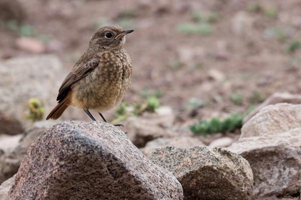 Phoenicurus moussieri