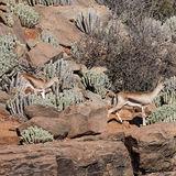 Gazella cuvieri