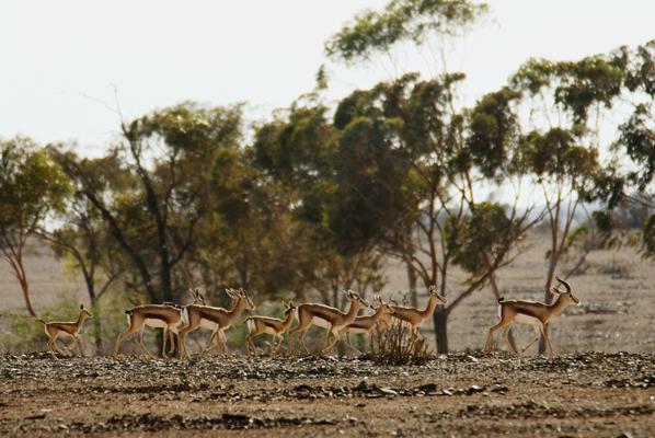 Gazella dorcas