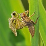 4 Spotted Chaser Emerging From Exuvia 2