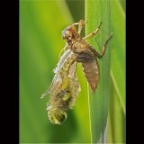 4 Spotted Chaser Emerging From Exuvia