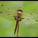 4 Spotted Chaser in the Rain