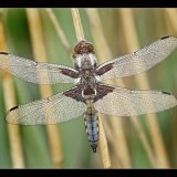 Broad Bodied Chaser in Dew