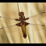 Broad Bodied Chaser in Reedbed