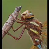 Brown Hawker Close Up