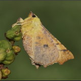 Canary Shouldered Thorn (2)