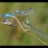 Common Blue Damselfly Mating Pair
