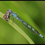 Common Blue Damselfly with Prey