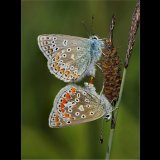 Common Blues Mating Pair