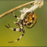 Common Garden Spider 2