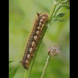 Drinker Moth Larva