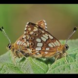 Duke of Burgundy Mating Pair