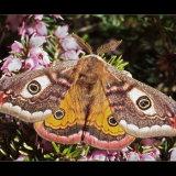 Emperor Moth (2)