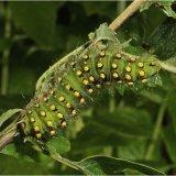 Emperor Moth Larva