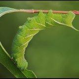 Eyed Hawk Larva