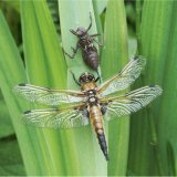 Four Spotted Chaser and Exuvia