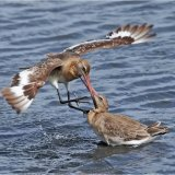 Godwits Fighting
