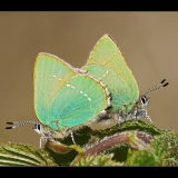 Green Hairstreaks Mating
