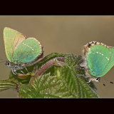 Green Hairstreaks