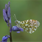 Male Orange Tip Underside