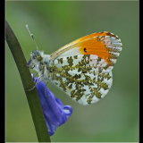 Male Orange Tip on Bluebell