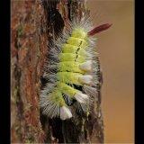 Pale Tussock Larva