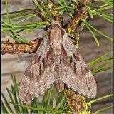 Pine Hawk Moth