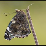 Red Admiral on Nettle Stem 2